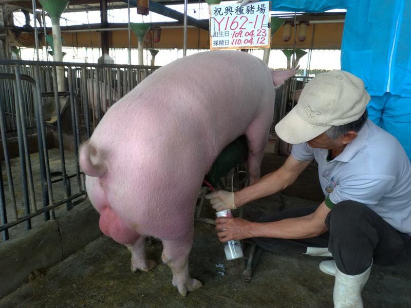 台灣區種豬產業協會11003期Y0162-11採精相片