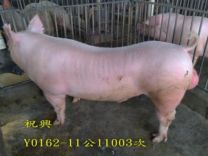 台灣區種豬產業協會11003期Y0162-11側面相片