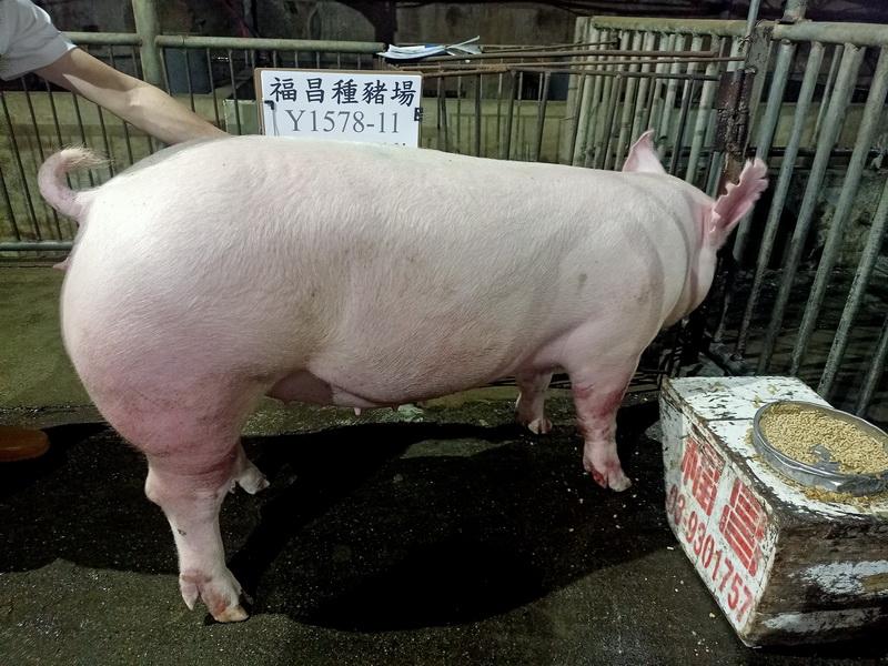 台灣區種豬產業協會11003期Y1578-14側面相片