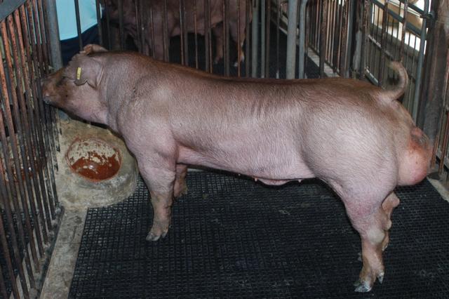 中央畜產會202010期D1782-04體型-全身照片