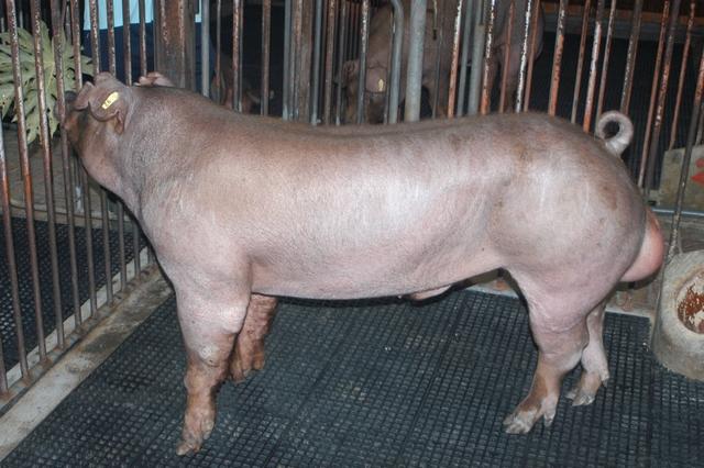 中央畜產會202010期D1799-04體型-全身照片