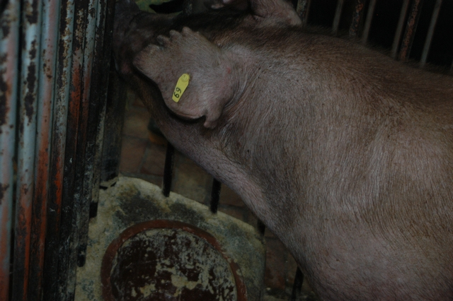 中央畜產會202010期D1782-01體型-頭頸相片