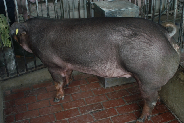 中央畜產會202010期D0347-03體型-全身照片