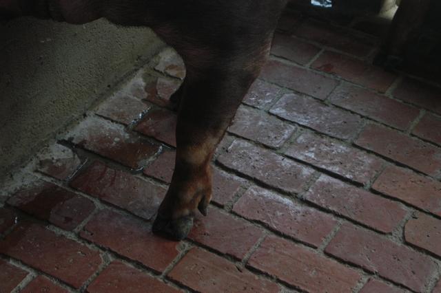 中央畜產會202010期D0347-03體型-四肢相片