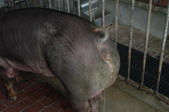 中央畜產會202010期D0347-03體型-性器外觀相片