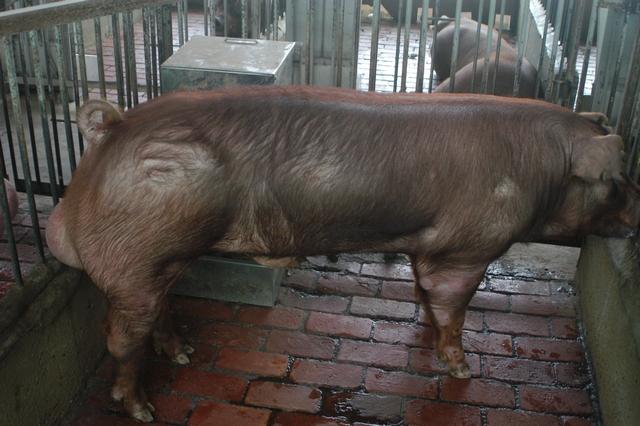 中央畜產會202010期D1799-05體型-全身照片