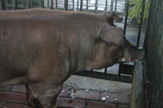 中央畜產會202010期D1784-06體型-頭頸相片