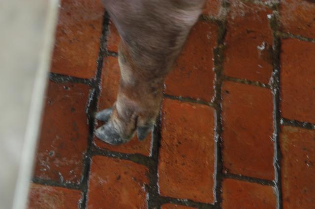 中央畜產會202010期D1784-06體型-四肢相片