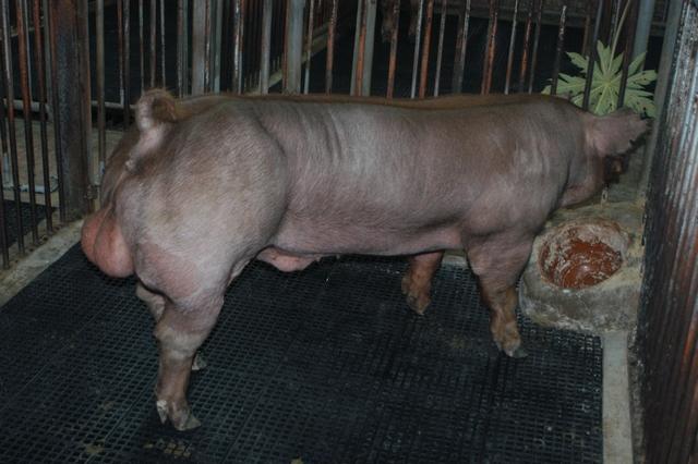 中央畜產會202010期D1784-01體型-全身照片