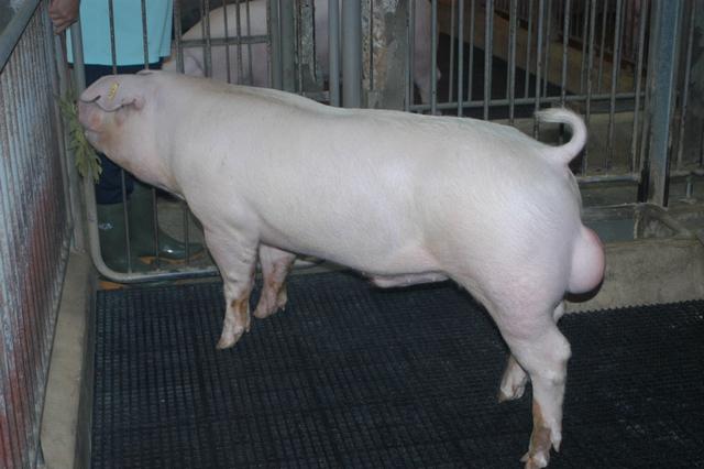 中央畜產會202010期L0218-05體型-全身照片