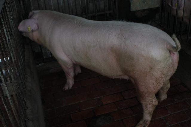 中央畜產會202010期L0202-11體型-全身照片