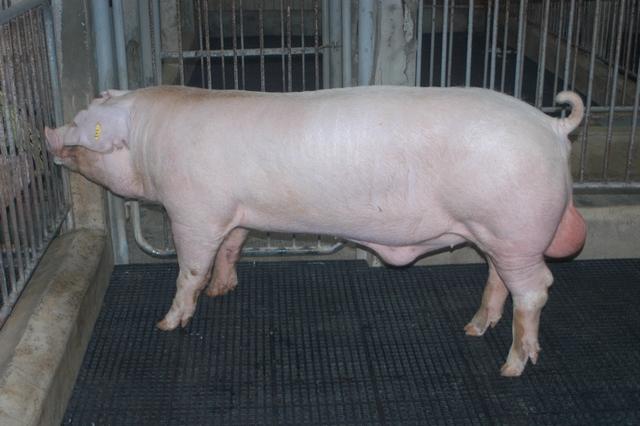 中央畜產會202010期L0246-02體型-全身照片