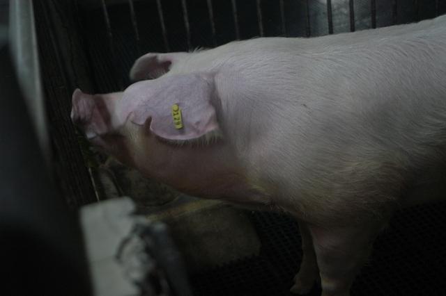 中央畜產會202010期L0216-06體型-頭頸相片
