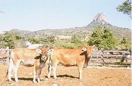 黃牛保種環境(2)(畜產種原庫及基因交流p39)