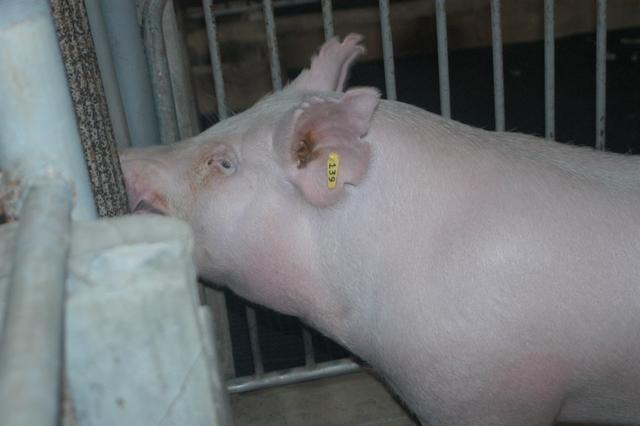 中央畜產會202010期Y1580-04體型-頭頸相片