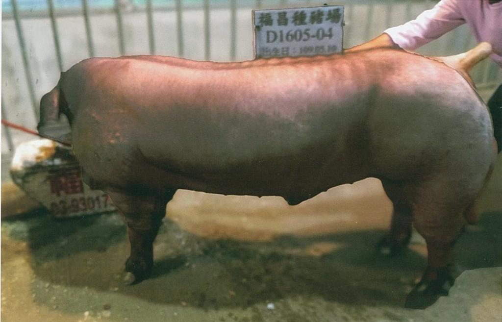 台灣區種豬產業協會11004期D1605-04側面相片