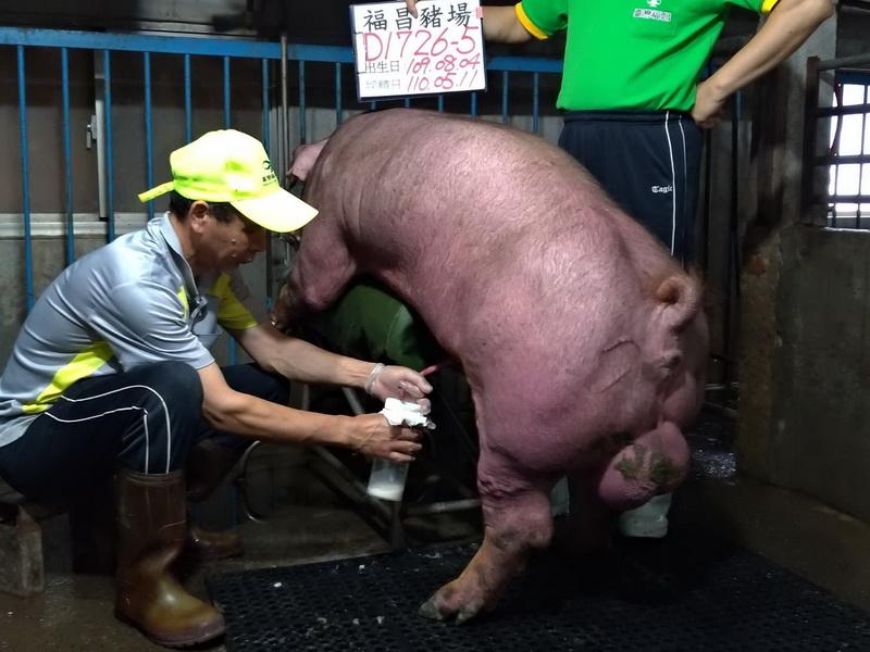 台灣區種豬產業協會11004期D1726-05採精相片
