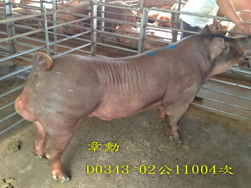 台灣區種豬產業協會11004期D0343-02側面相片