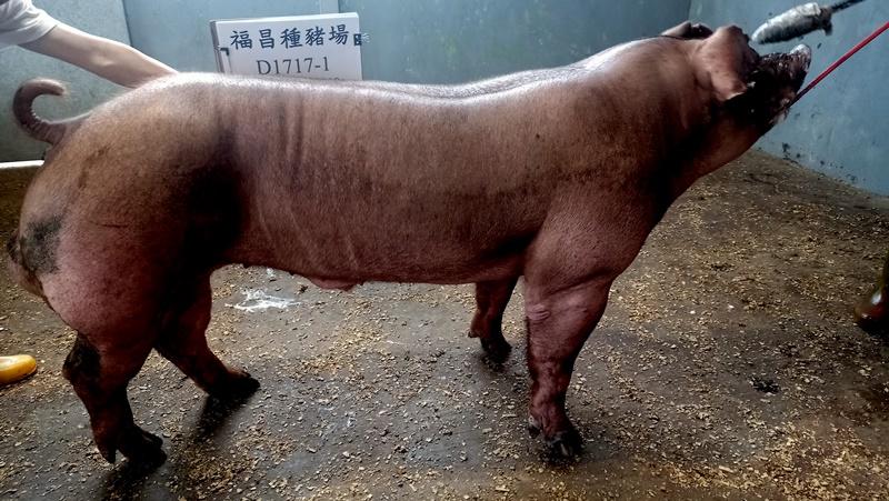 台灣區種豬產業協會11004期D1717-01側面相片