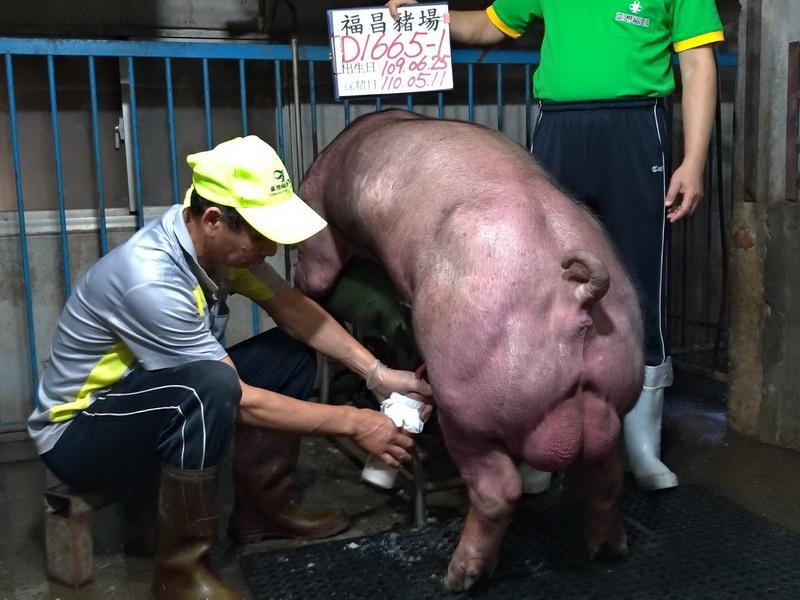 台灣區種豬產業協會11004期D1665-01採精相片