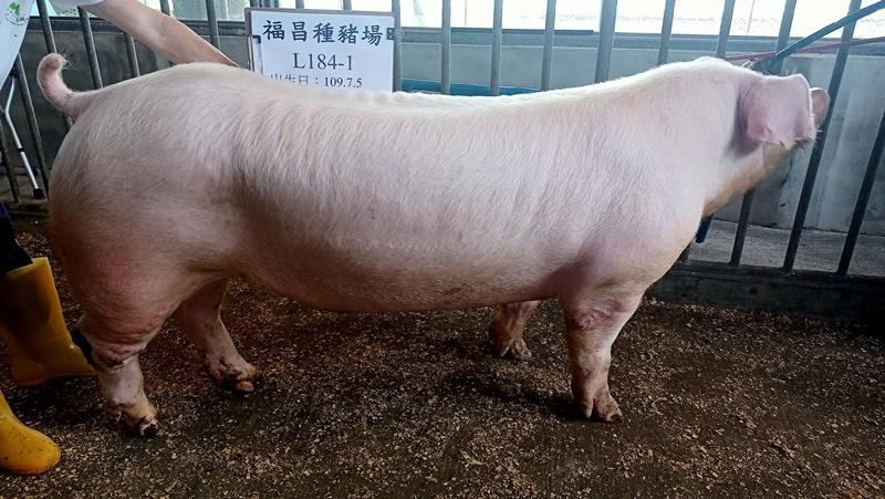 台灣區種豬產業協會11004期L0184-01側面相片