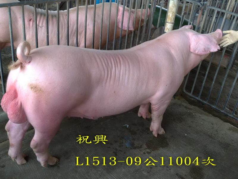台灣區種豬產業協會11004期L1513-09側面相片