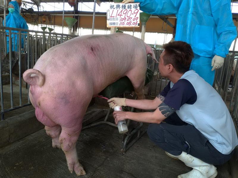 台灣區種豬產業協會11004期L1490-09採精相片