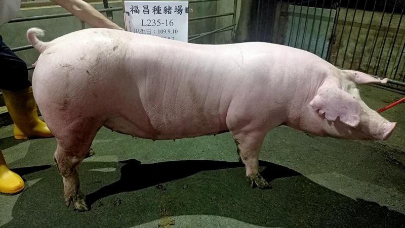 台灣區種豬產業協會11004期L0235-16側面相片