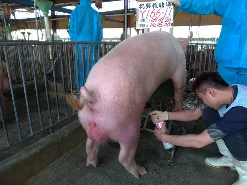 台灣區種豬產業協會11004期Y0166-11採精相片