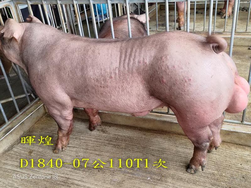 台灣區種豬產業協會場內檢定110T1次D1840-07側面相片