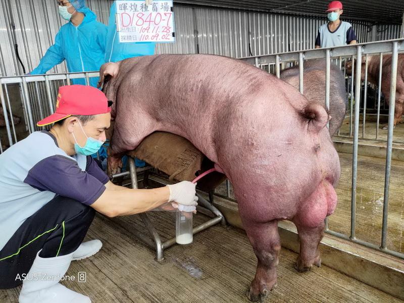 台灣區種豬產業協會場內檢定110T1次D1840-07採精相片
