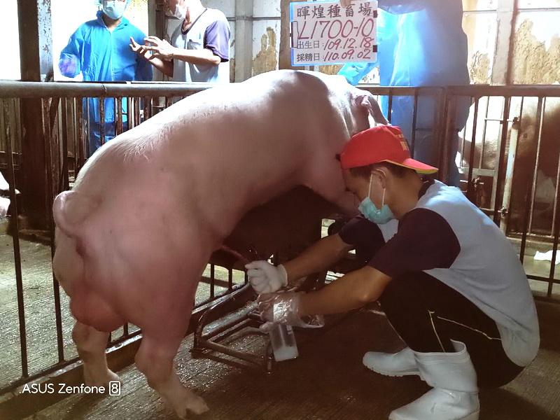 台灣區種豬產業協會場內檢定110T1次L1700-10採精相片