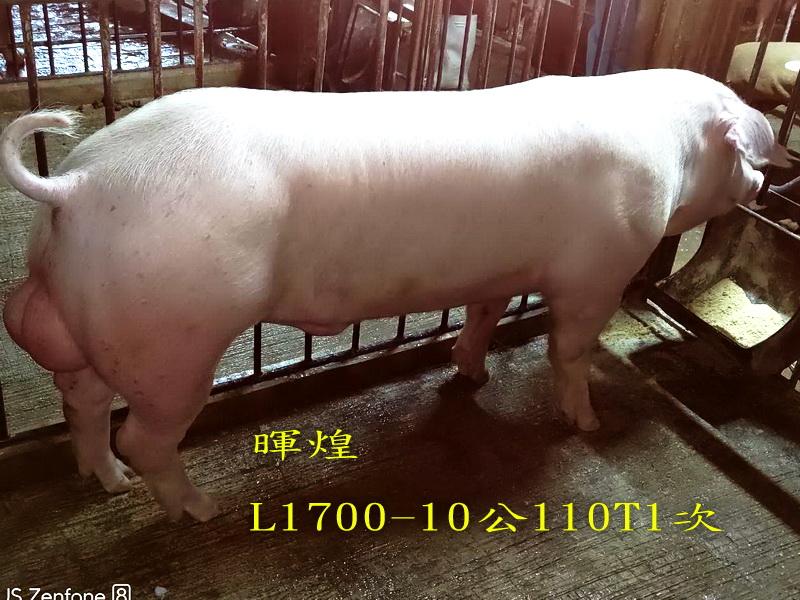 台灣區種豬產業協會場內檢定110T1次L1700-10側面相片