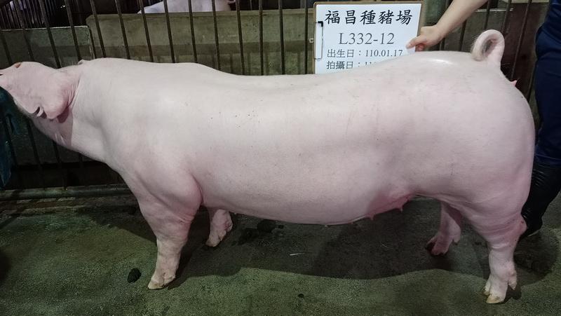 台灣區種豬產業協會場內檢定110T1次L0332-12側面相片