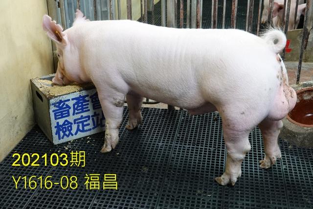 中央畜產會202103期Y1616-08拍賣照片