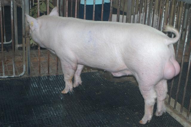 中央畜產會202103期Y1104-09體型-全身照片