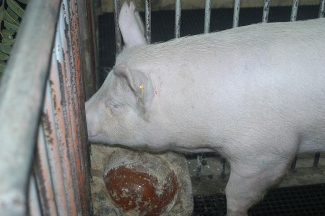 中央畜產會202103期Y1104-09體型-頭頸相片