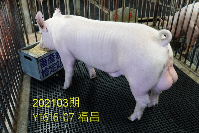 中央畜產會202103期Y1616-07拍賣照片