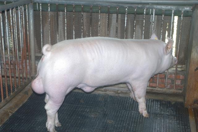 中央畜產會202103期Y1616-07體型-全身照片
