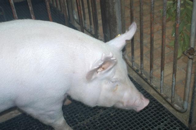 中央畜產會202103期Y1616-07體型-頭頸相片