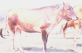 黃牛保種環境(6)(畜產種原庫及基因交流p39)