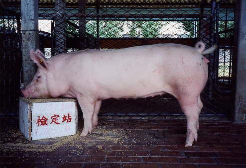 中央畜產會200301期Y0129-06拍賣照片