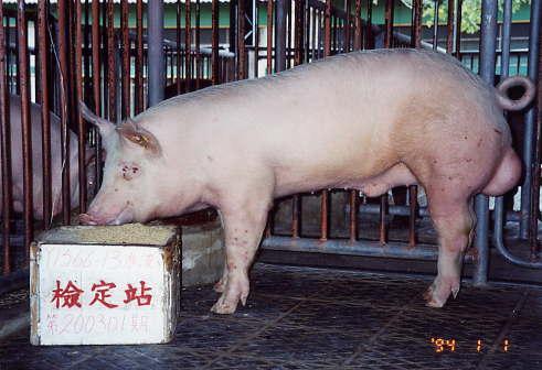 中央畜產會200301期Y1566-13拍賣照片
