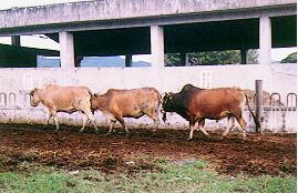 黃牛配種 - 公黃牛緊跟在發情母牛之後 (畜產種原庫及基因交流p43)