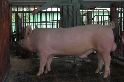 中央畜產會200311期Y0089-05體型-全身相片