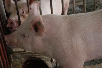 中央畜產會200311期Y0107-01體型-頭頸相片