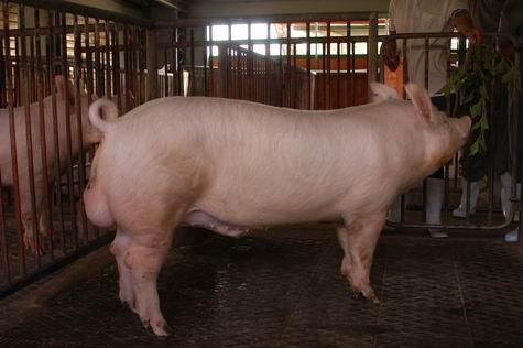 中央畜產會200401期Y0002-03體型-全身相片