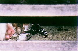 黃牛分娩過程(5) -腹部用力促使胎兒前肢更露出(畜產種原庫及基因交流p45)
