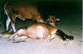 黃牛分娩過程(6) -母牛採側臥姿排出胎兒牛(畜產種原庫及基因交流p46)