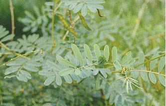白花鐵富豆Tephrosia candida (Roxb.) DC.